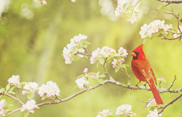 red cardinal sighting meaning
